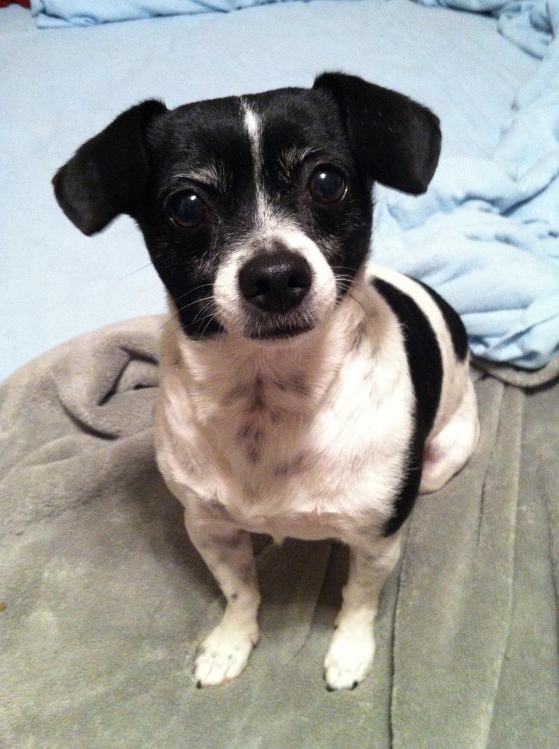 Betsy Mae, Rat Terrier