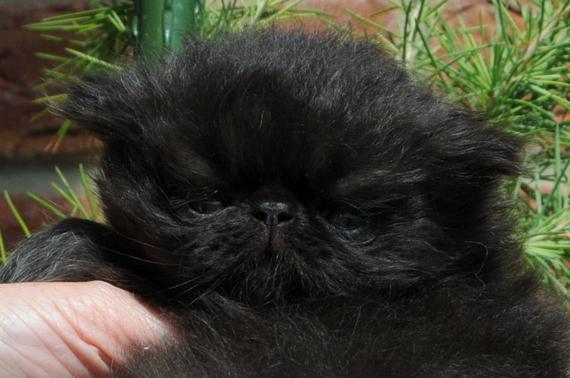 Cute Face Black Kitten