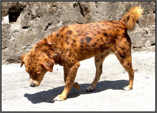 Cheetah-dog Hybrid