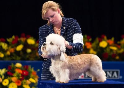 Dandie Dinmont Show Dog