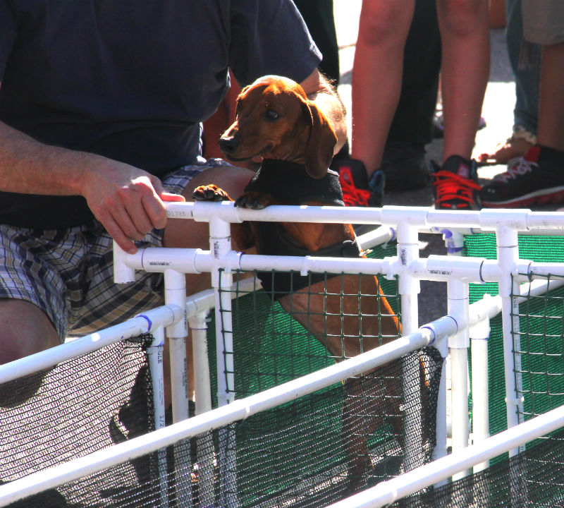 A Dachshund is anxious to start racing