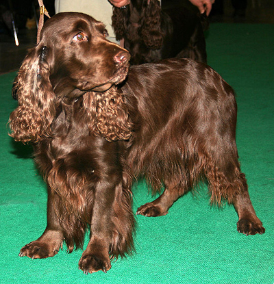 Liver-colored Field Spaniel photo courtesy of Wikipedia Commons