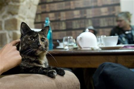 A tortoiseshell kitty enjoys attention at a French cafe
