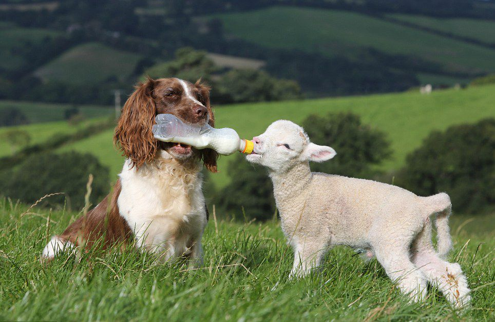 Jess the English Springer Spaniel feeds lambs