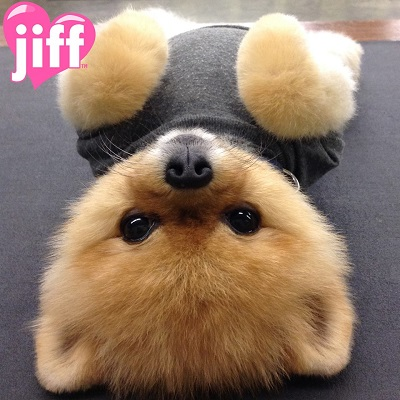 Meet Jiff - The Peanut Butter Colored Pomeranian | BaxterBoo