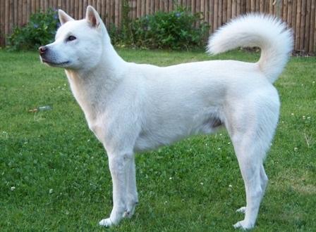 Meet the breed the kishu ken baxterboo