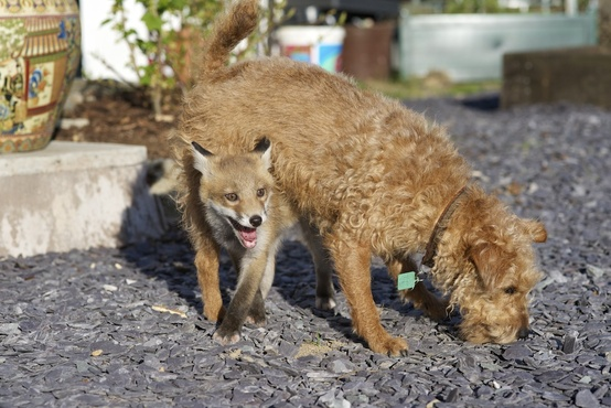 Maddy the terrier and Rosie the fox play