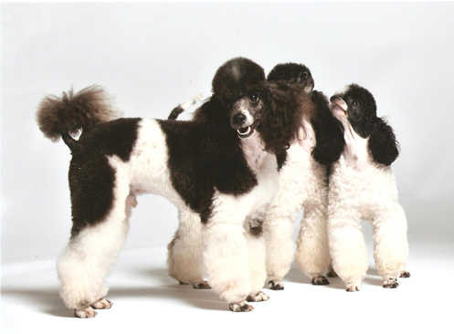 Miniature parti-colored poodles
