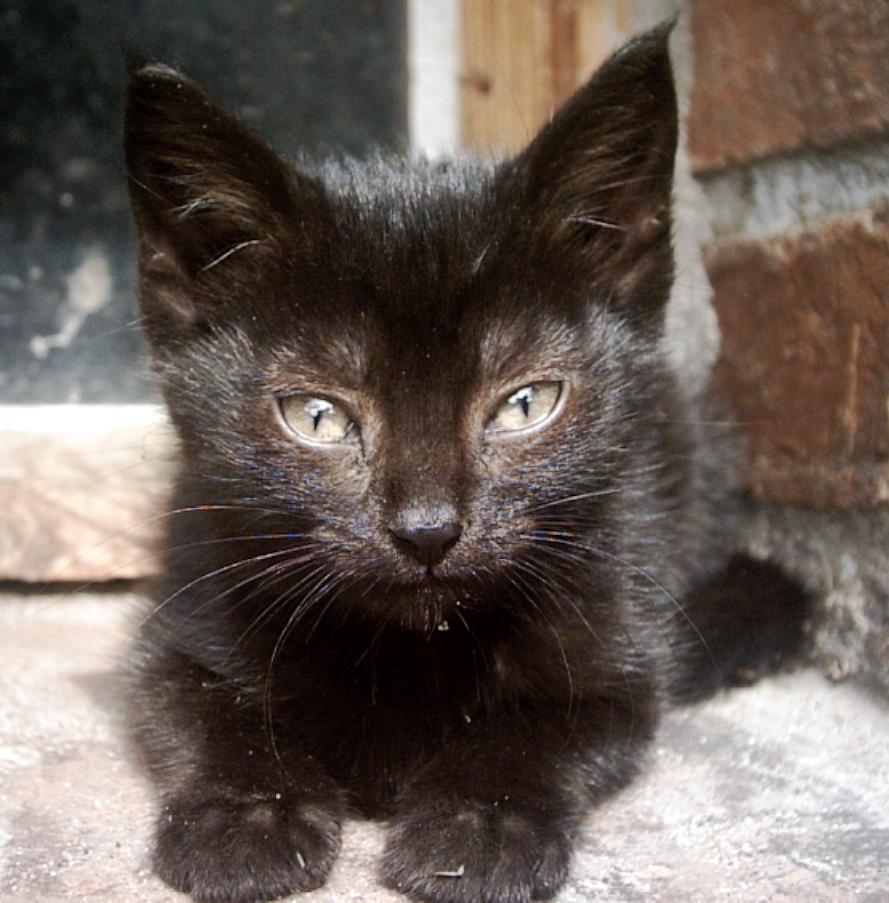 Polish Kitten