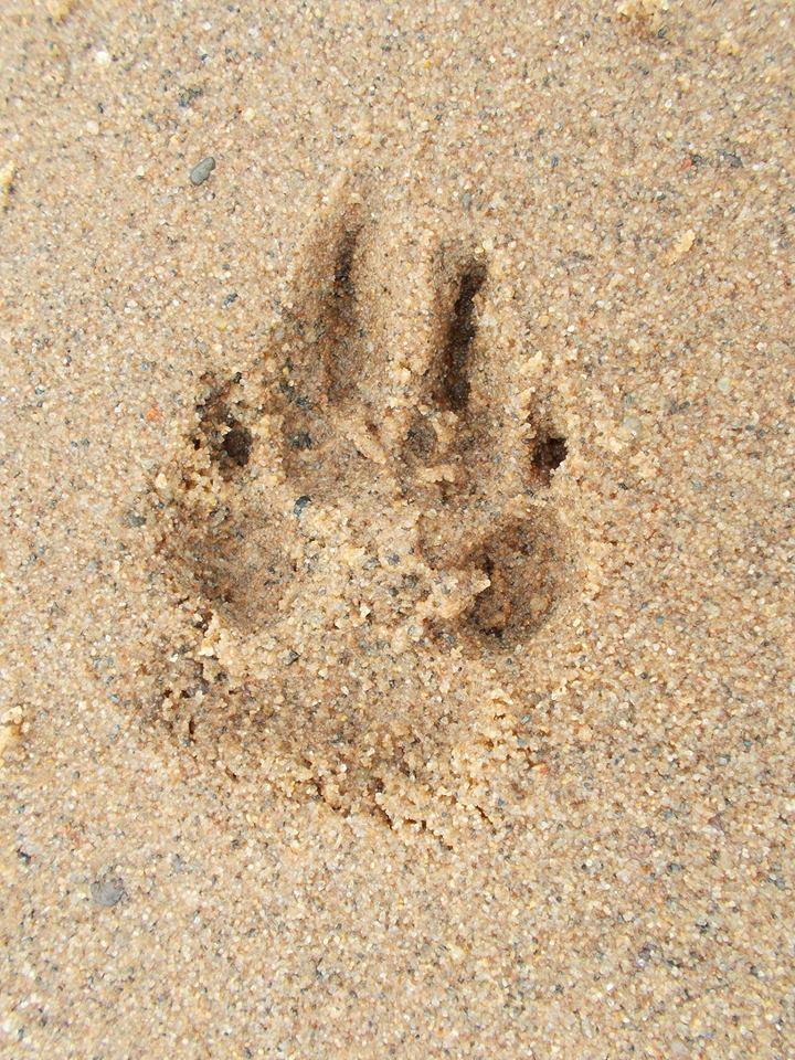 Schoep's paw print
