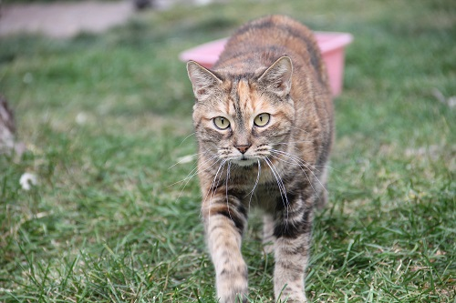 A torbie cat ready to adopt at Rocky Mountain Feline Rescue
