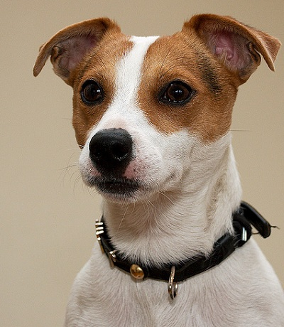 Smooth-coated Russell Terrier