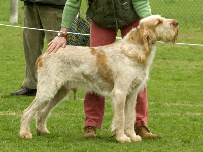 Orange roan Spinone with orange markings