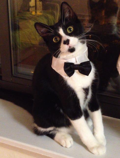 Dapper tuxedo cat