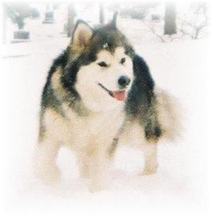 http://www.dogbreedinfo.com/alaskanmalamute.htm