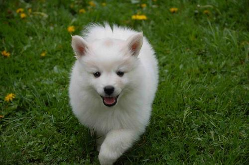 American Eskimo Puppy photo by MitchD50.