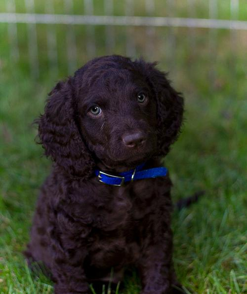 American Water Spaniel Puppy. Too cute!