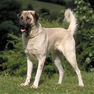 http://www.listofdogbreeders.com/anatolian-shepherd/