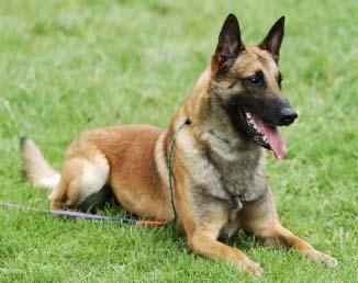 http://www.k9puppiesforsale.com/breeds/belgian-malinois.aspx