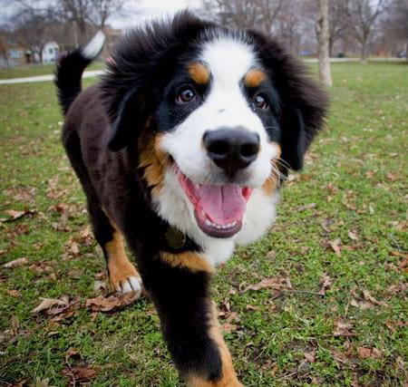 http://www.dailypuppy.com/puppies/riggs-the-bernese-mountain-dog_2009-09-01
