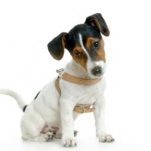 http://www.puppysaleindia.com/russell-terrier
