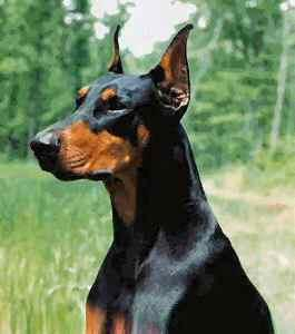 http://dobermanpinscherpuppies.net/doberman-pinscher-breeding/