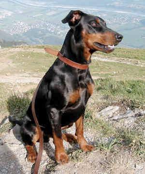 https://gotpetsonline.com/pictures/gallery/dogs/alphabetically/german-pinschers/german-pinscher-0013/