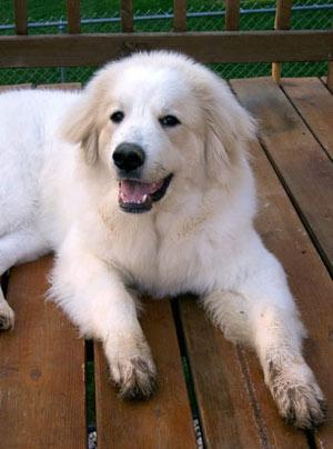 http://www.bigpawsonly.com/Great-Pyrenees-Dog-breed.htm