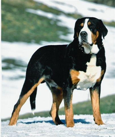 http://dogbreedsinfo.org/Greater-Swiss-Mountain-Dog.html