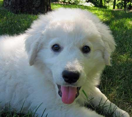 http://www.dailypuppy.com/puppies/biggie-the-kuvasz_2007-09-18