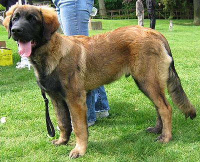 http://www.dogsindepth.com/molossoid_dog_breeds/leonberger.html