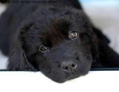 http://www.puppy-training-at-home.com/newfoundland-dog-training.html