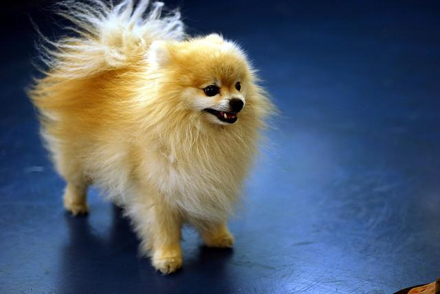 pomeranian adults meet the breed the pomeranian baxterboo 9485