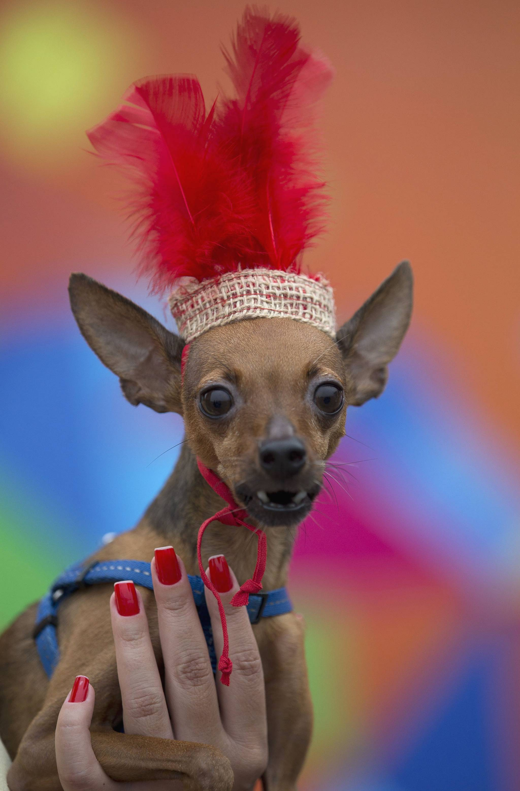 the carnival dog Mardis gras isn't just for humans california's fanciest dogs gathered in rancho santa fe sunday for a canine carnival, complete with beads, bows and plenty of excited barks aboard floats.