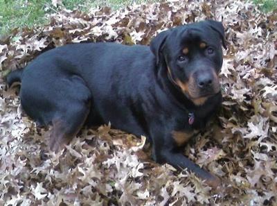 http://www.dogbreedinfo.com/rottweiler.htm