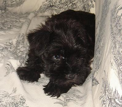 Black Schnauzer puppy.