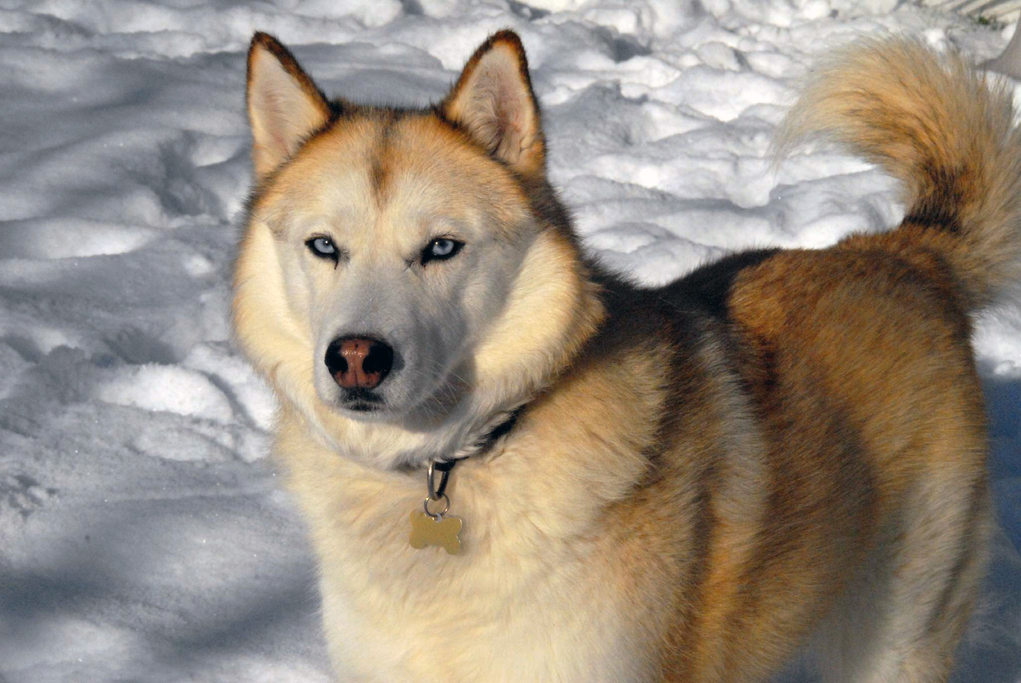 http://www.petwave.com/Dogs/Dog-Breed-Center/Working-Group/Siberian-Husky/Overview.aspx