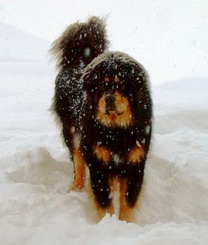 http://rarebreed.com/breeds/tibetan/tibetan.html